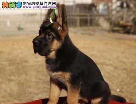 CKU犬舍认证出售纯种德国牧羊犬品相一流疫苗齐全