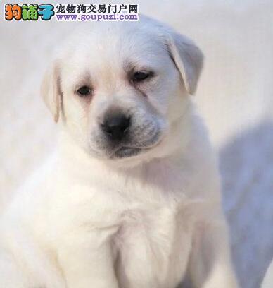大骨架品质血统极佳的哈尔滨拉布拉多犬 签订购犬协议
