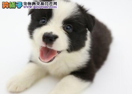 贵阳出售边境牧羊犬 高品质 血统纯正签订售后质保协议