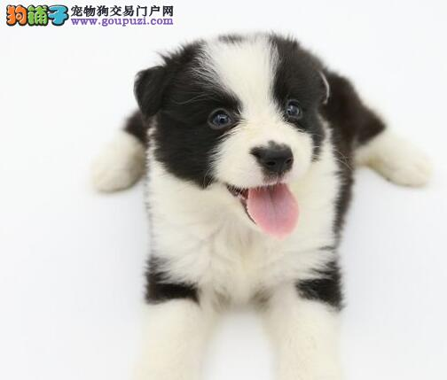 出售多色边境牧羊犬 武汉周边地区可上门选购价格低
