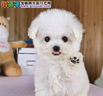 福州本地养殖基地直销泰迪犬 保证健康血统保纯