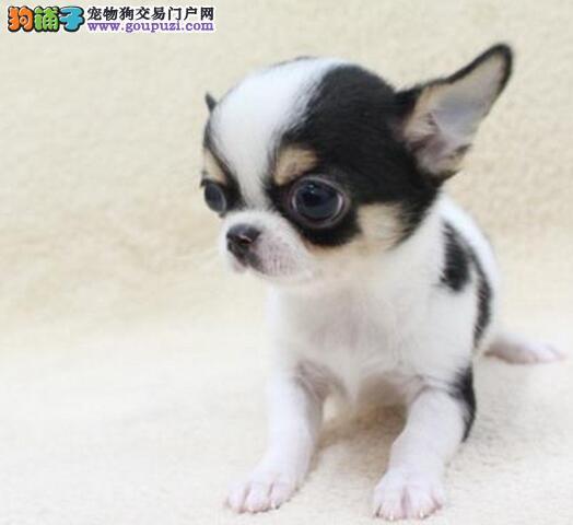 出售苹果头大眼睛的太原吉娃娃幼犬 可签协议质保三年