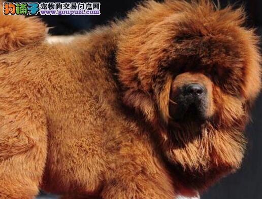 武汉大型狗场直销狮子头的藏獒幼崽 随时上门选购看狗