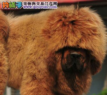 极品藏獒直销的价格出售 公母都有上海本地最好的狗狗