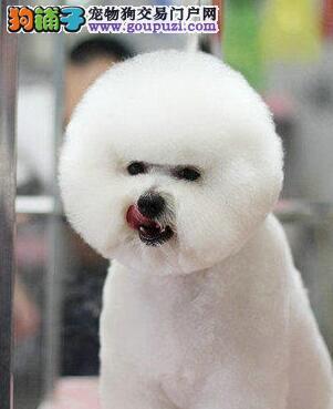 喀什毛色佳品相好比熊 纯种迷人卷毛雪白比熊幼犬