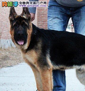 武汉繁殖基地出售赛级后代的德国牧羊犬 纯种健康质保