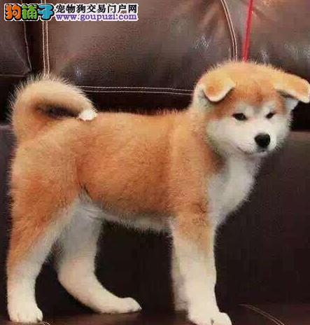 宜春最大的秋田犬基地 完美售后品质保障可全国送货
