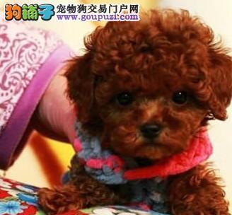 特价转让韩系血统大连泰迪犬 疫苗已做齐有血统证书