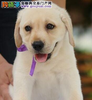 出售乌鲁木齐极品拉布拉多幼犬 骨架体型纯正到位
