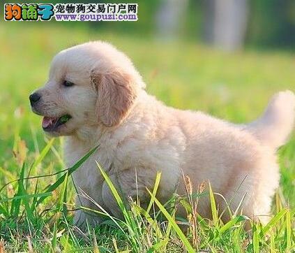 本狗场专业繁殖出售深圳金毛犬 疫苗驱虫做齐保证健康