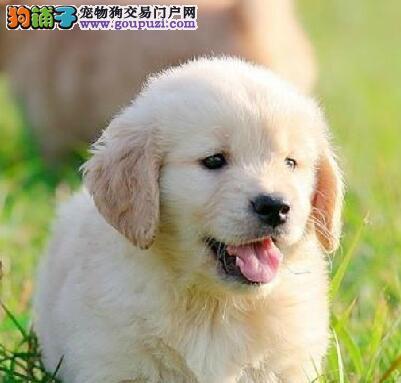 CKU认证犬舍出售高品质金毛微信看狗真实照片包纯