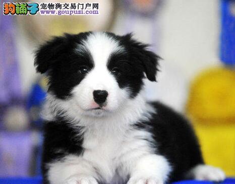 出售正宗血统优秀的九江边境牧羊犬签订协议终身质保