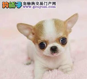 杭州吉娃娃出售幼犬 纯种 健康吉娃娃 苹果头吉娃娃
