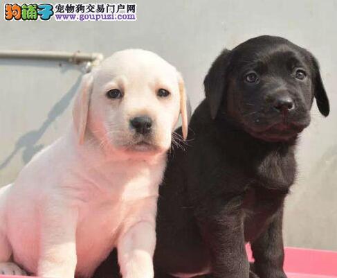 济南本地出售精品拉布拉多犬 头版好 身体壮 品相极佳