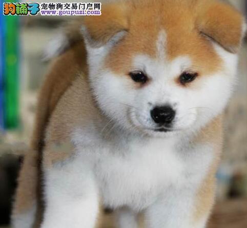 纯种赛级日系秋田犬,苏州纯种秋田犬多少钱?