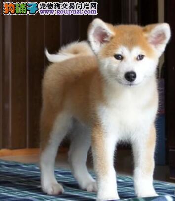 出售郑州秋田犬健康养殖疫苗齐全微信咨询看狗狗视频