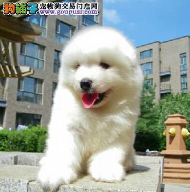 高品质萨摩耶宝宝,可看狗狗父母照片,质保健康90天