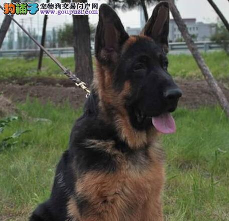 出售纯种健康的南京德国牧羊犬幼犬上门可见父母