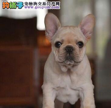 石河子知名犬舍出售多只赛级法国斗牛犬实物拍摄直接视频