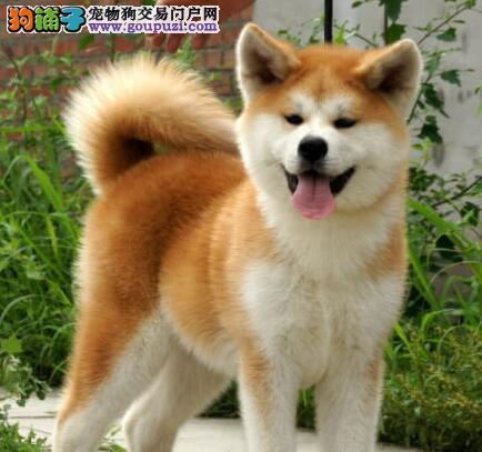 温州CKU双认证犬舍出售顶级日系秋田犬 服务一流