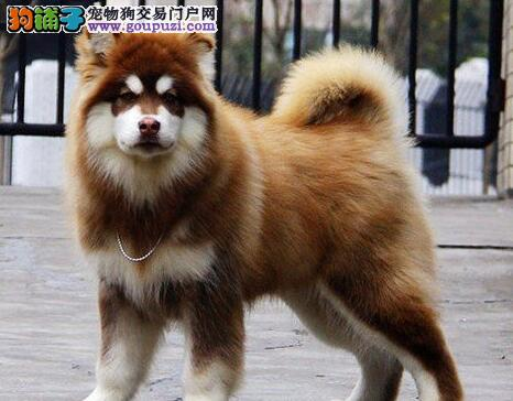 低价促销郑州阿拉斯加雪橇犬高品质售后有保证