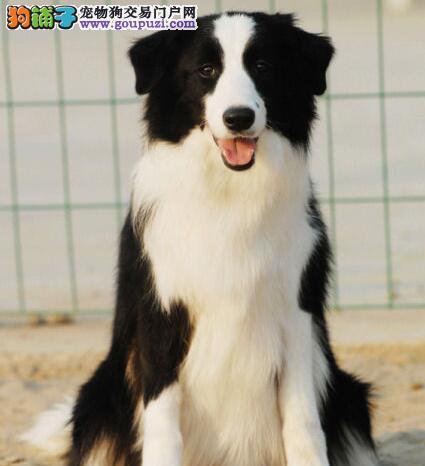 基地直销精品纯种边境幼犬——可上门挑选买的放心