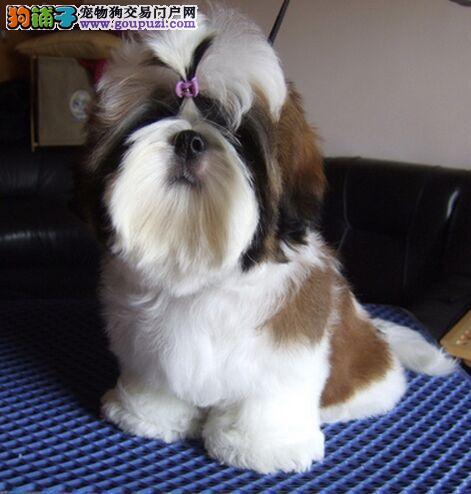 品质健康有保障长沙西施犬热卖中购犬可签协议