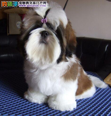 CKU犬舍认证出售高品质赣州西施犬爱狗人士优先狗贩勿扰