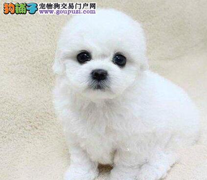 西安出售必备爱犬,大眼睛双血统比熊宝宝