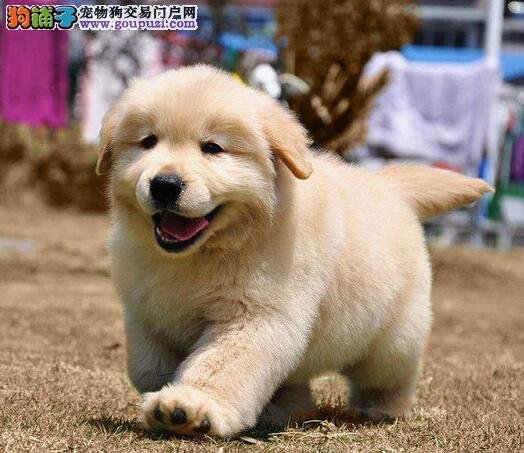 榆林出售颜色齐全身体健康金毛全国十佳犬舍