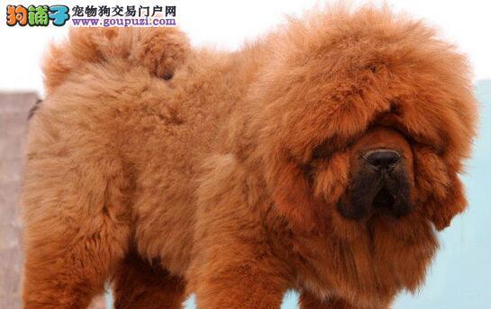 出售大狮头大长毛藏獒 武汉精品纯种幼獒