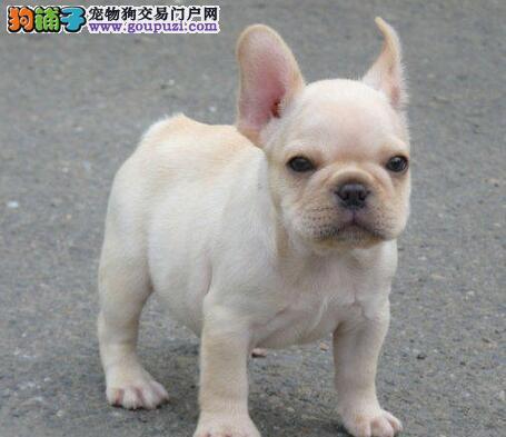 拉萨出售法国斗牛犬颜色齐全公母都有微信看狗真实照片包纯