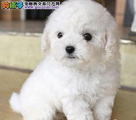 实体店热卖泰迪犬颜色齐全全国质保全国送货