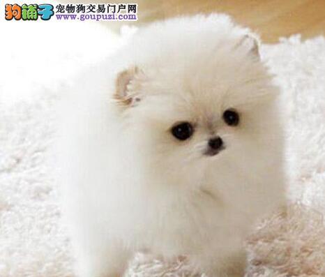 极品博美犬出售、CKU认证犬舍、诚信经营保障