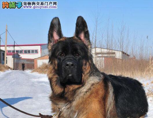 最大的德牧狗场出售纯种弓腿弓背德牧幼犬