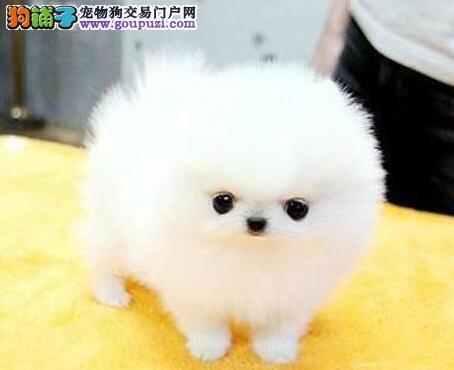 潍坊实体狗场低价出售博美犬 超小体型超大毛量