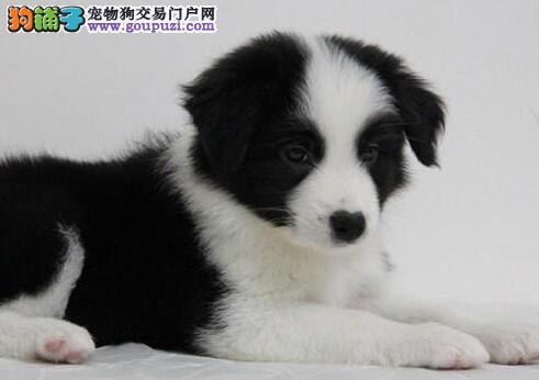 陨石色通脖通缝的边境牧羊犬出售中 潍坊市内送货