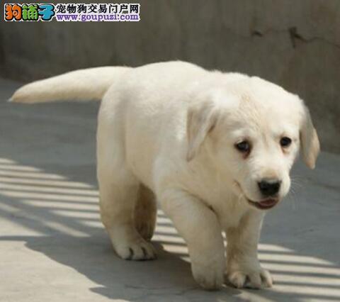 低价出售高品质的潍坊拉布拉多犬 保证品质和售后