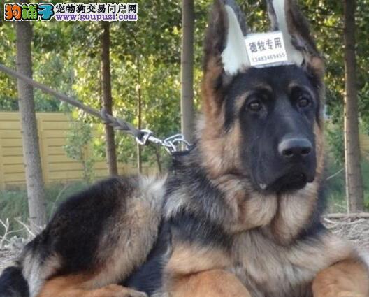 犬舍直销赛级德国牧羊犬哈尔滨市区购犬赠送芯片