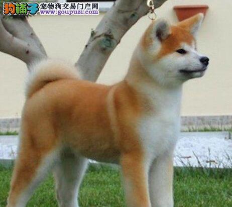 人见人爱花见花开的潍坊秋田犬找新家 终身免费售后