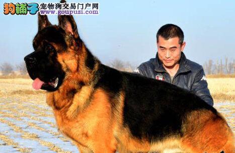 潍坊自家繁殖的德国牧羊犬火爆出售中 数量有限
