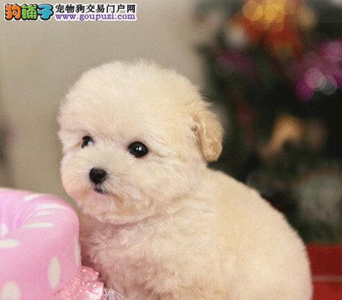 茶杯玩具超小体的潍坊泰迪犬找新家 签订合法协议书