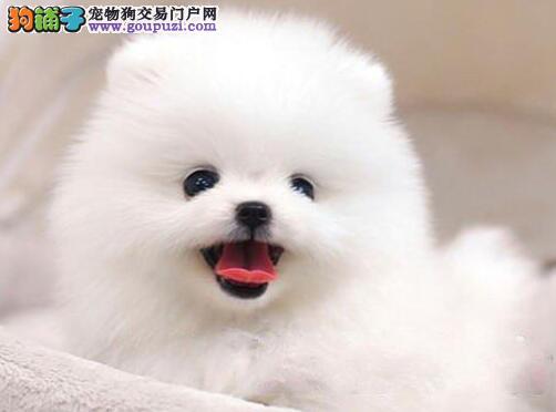 博美犬成都CKU认证犬舍自繁自销多种血统供选购