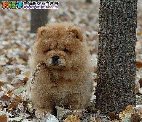 松狮 天津优品犬业 大型專業犬厂 信譽服务有保障