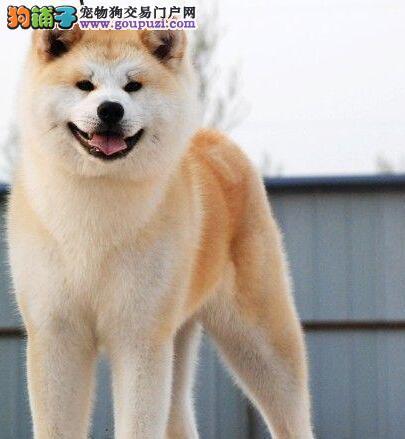 活泼可爱纯种健康的吉林秋田犬热销中 请您放心选购