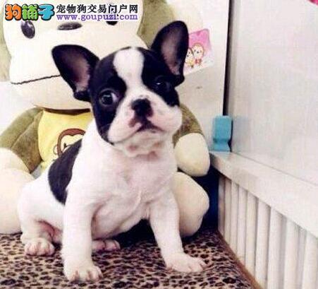 出售法国斗牛犬冠军之子,保证纯种健康,CKU认证犬