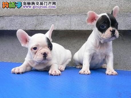 出售欧系小体迷你活泼可爱的南昌斗牛犬 可签协议
