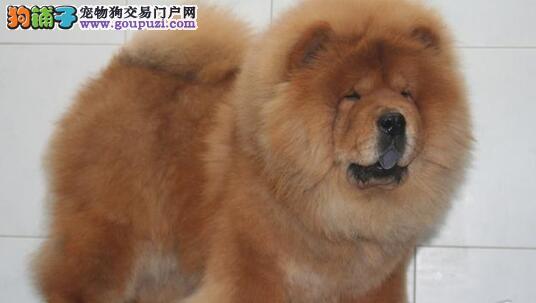 南京犬舍直销憨厚可爱的松狮犬 紫舌头胖嘟嘟的很可爱