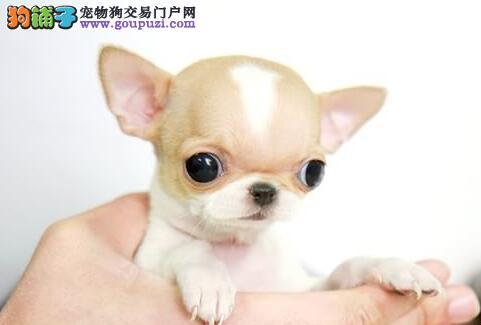 转让茶杯娇小可爱的上海吉娃娃幼犬 可遇不可求