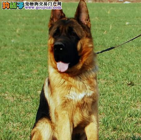 成都知名犬业低价出售德国牧羊犬 黑背弓腰锤系血统